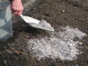 Apport de cendre de bois  dans le sol du jardin bio