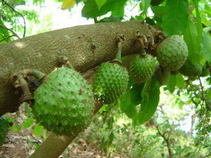 Le corossolier qui produit des fruits et des feuilles utilisés pour guérir du cancer
