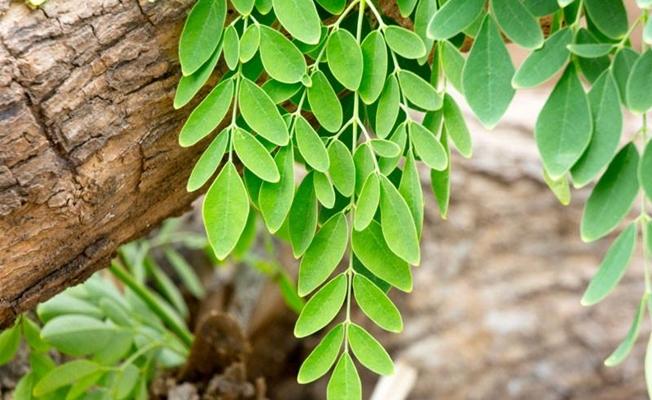 La feuille de moringa bio est un anti cancer naturel puissant comme la feuille de graviola corossol et l'armoise annuelle, artemisia annua