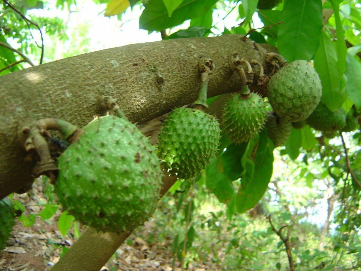 Vous pouvez acheter des produits du fruit et de la feuille de graviola corossol anti cancer, des gélules, de la poudre sur la boutique du laboratoire www.biologiquement.com